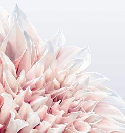 Soft pink dahlia